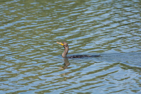 A double-crested cormorant swims in a pond. Reklamní fotografie
