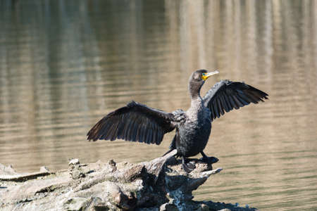 A double-crested cormorant dries its wings as it stands on a log in a pond.