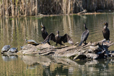 Four double-crested cormorants share a log in a pond with several turtles.