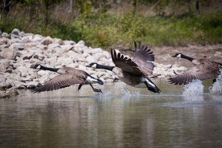 Canada Goose Take-Off Reklamní fotografie