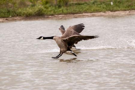Landing Canada Geese