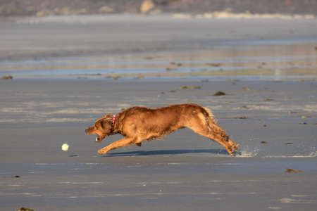 The dog had a lovely morning on the beach chasing after tennis balls Stock Photo