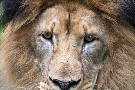 panthera leo: In this close-up on the Male Lions Panthera leo face  Stock Photo