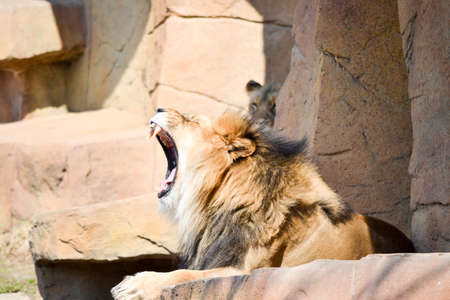 looked: This lion looked to be roaring but was only a yawn.
