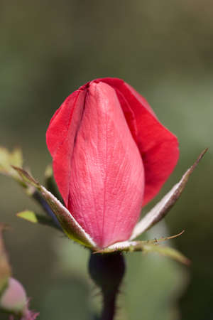 a small rosebud about to open.