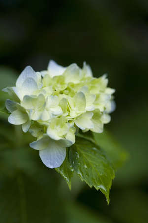 A cluster of soft blue and yellow hydrangea flowers. Rain drops cling to the blossom and leaves.