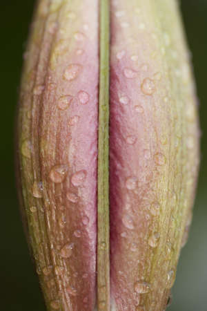 a close up view of rain drops on a red day lilly blossom found out in my backyard.