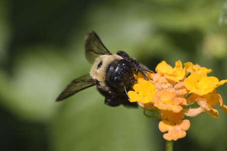 a very detailed image of a bumble bee gathering nectar from a lantana flower.  Stock Photo