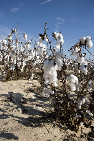 planta de algodon: Una vista de cerca de una planta de algod�n, justo antes de la cosecha.
