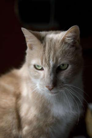 A light brown cat sitting on a dresser