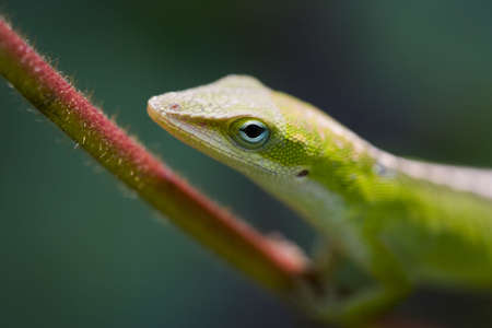 a lizard on a vine. Focus limited to the eye