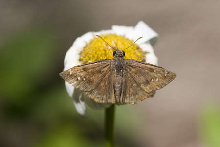 A large brown moth on a dry daisy Stock Photo