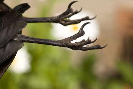 Black birds claws