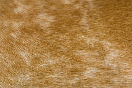 A macro shot of the side of a dog (red tick coon-hound) Stock Photo
