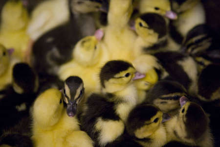 A collection of  ducks.