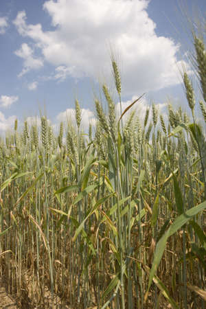 A field of wheat to be harvested for biofuel production in South Carolina.  Stock Photo