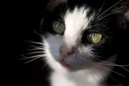 A close up of the face of a black and white cat.  Stock Photo