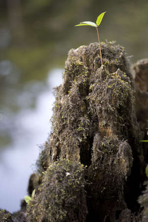 a cypress stump with one small plant growing on it.  Stock Photo
