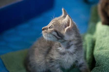 A small gray kitten were fostering till adoption. Stock Photo