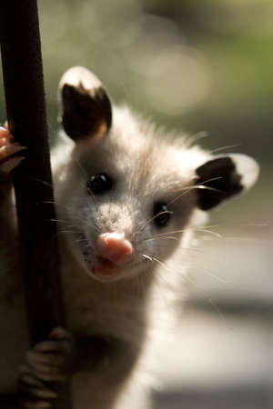 a small possum on a metal fence.