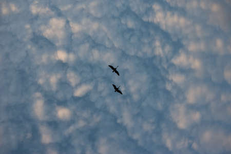 Two Geese flying directly overhead.  Stock Photo