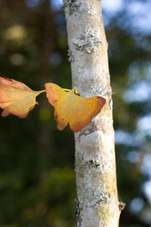 A ginkgo tree leaf turning yellow in the fall.  Stock Photo