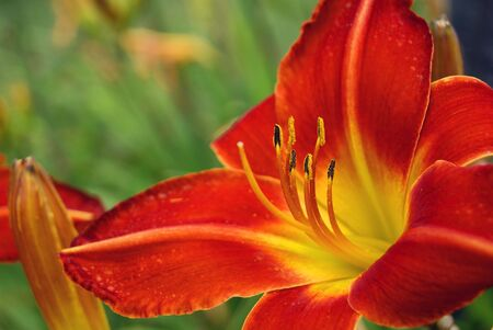 Colorful Lily photo
