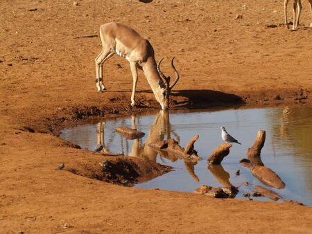 sipping: Sipping impala