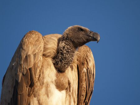 Vulture isolated against blue sky