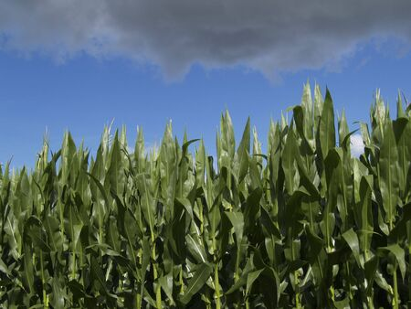 cropping: Clouds gathering over corn field