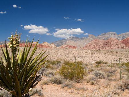yucca: Desert scenery with yucca.