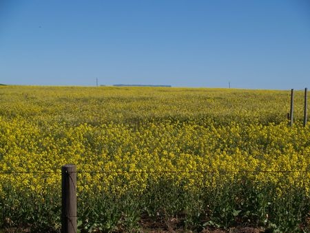 cropping: Canola field below blue sky. Stock Photo