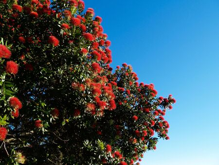 Pohutukawa tree against blue sky.