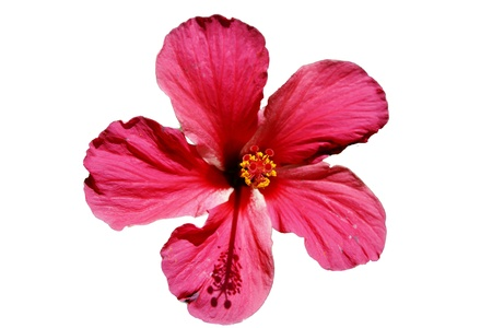 Single red flower on white. photo