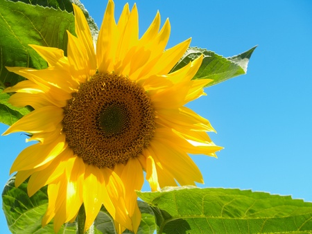 Sunflower bloom and leaves against blue sky. Stock Photo