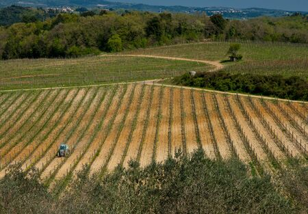 New vineyard in Tauscany, Italy. 版權商用圖片