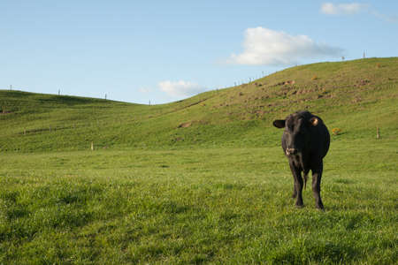 black angus cattle: Black cow in paddock