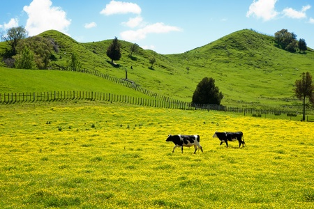 Two cows in buttercup. photo