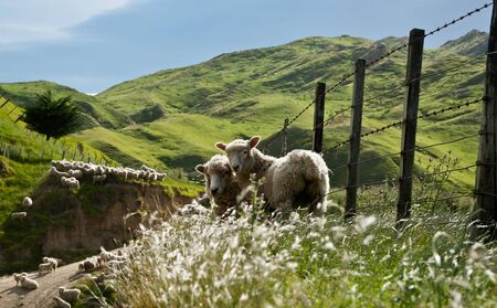 zealand: Two sheep stading looking this way in a rural background.