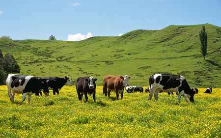 land mammal: Cattle grazing in field of bright yellow buttercup flowers in New Zealand.