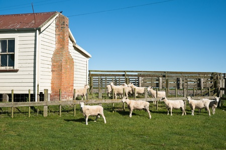 recently: Sheep, recently shorn. Stock Photo