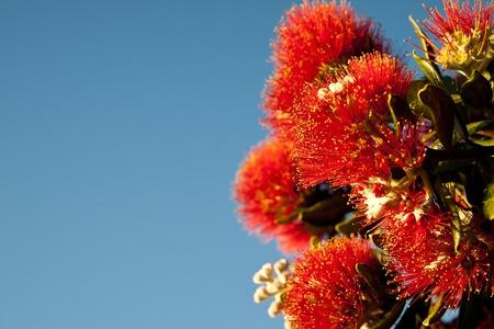 Pohutukawa in bloom, New Zealand Christmas tree. 版權商用圖片 - 11598095