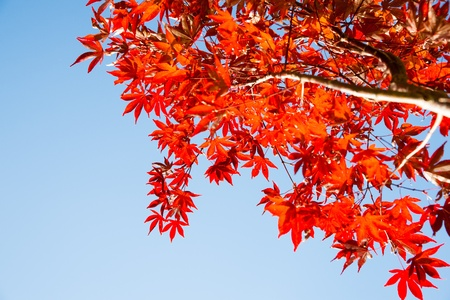 red maples: red autumn leaves