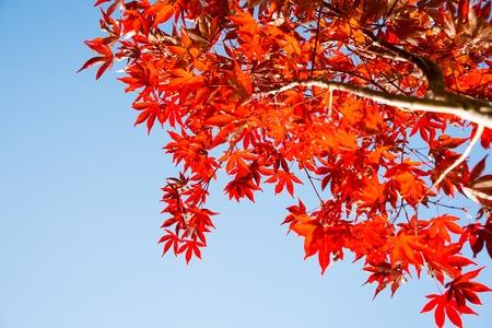 rojo las hojas de otoño