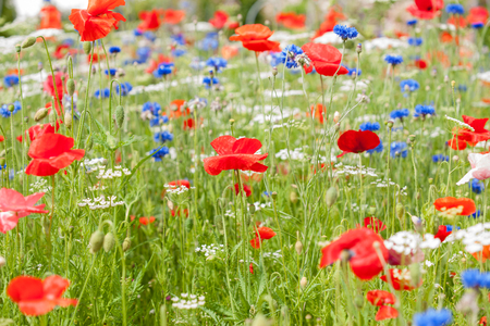 Wildflowers, dominated by red poppies  photo