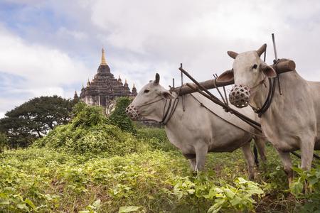 ploughing: Oxen ploughing field Gawdawpalin Temple  in background, Old Bagan, Myanmar