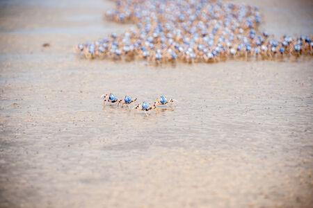 batallon: Cangrejos soldado sobre la marcha en Fraser Island