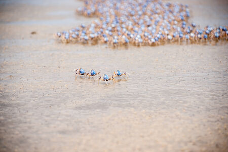 left behind: Soldier crabs on the march at Fraser Island  Stock Photo