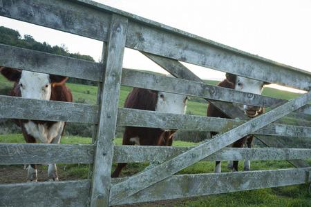 Three Polled hereford cattle through farm gate  photo