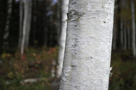 treetrunk: White birch treetrunk closeup Stock Photo